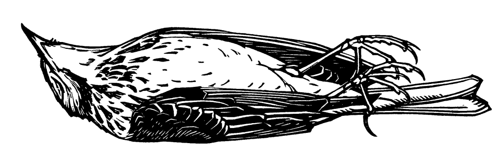Etching style drawing of a dead bird