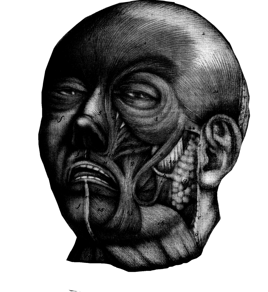 Anatomical head without skin, looking perplexed