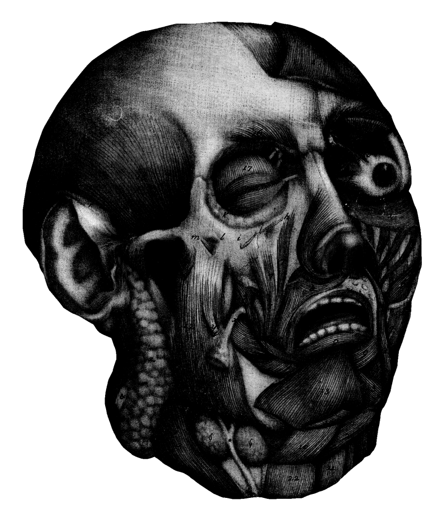 Anatomical head without skin, looking shocked