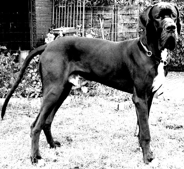 A friendly looking Great Dane